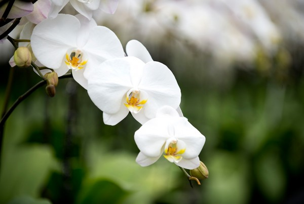 Health benefits of orchids