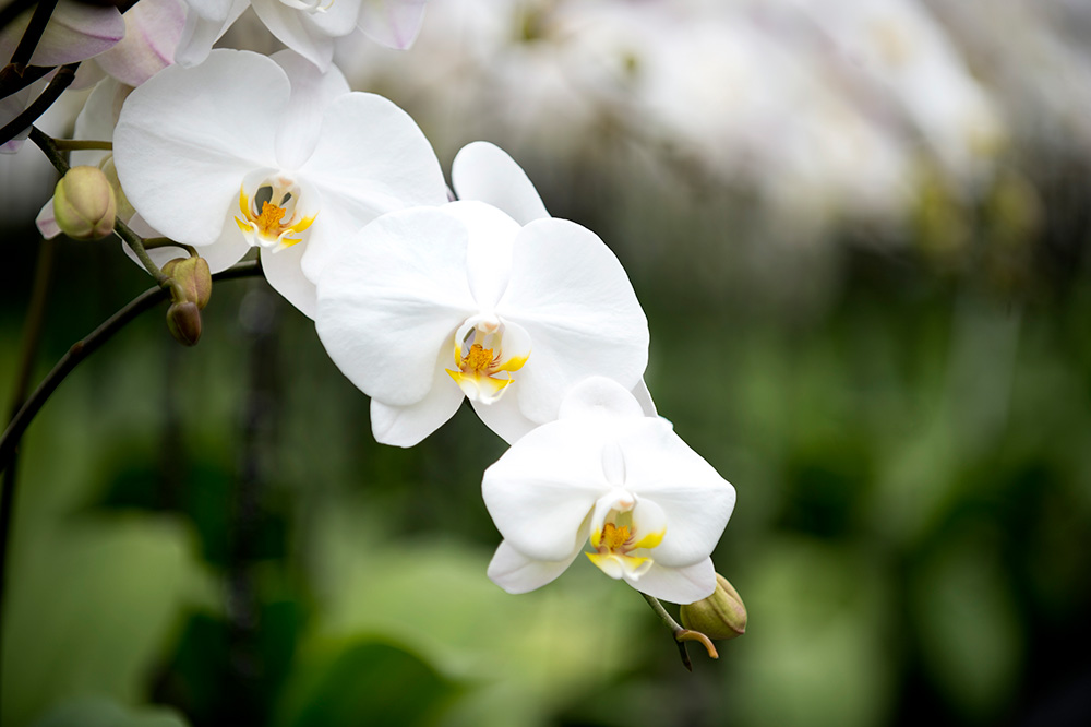 Health benefits of ornamental Orchids